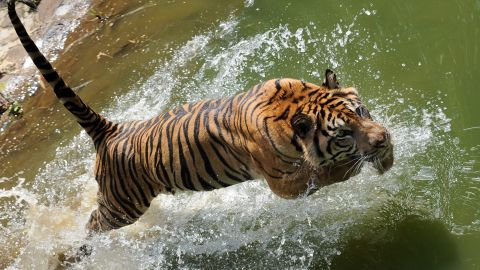 A rare 12-year-old Sumatran tiger named 'Trenggani' jumps into the water within its enclosure at Ragunan Zoo in Jakarta, Indonesia. Many Sumatran tigers now live in captivity.