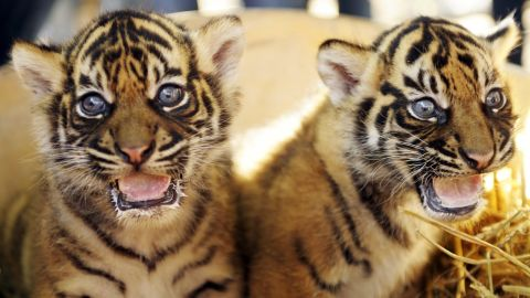 Two six-week-old Sumatran tiger cubs sit in their enclosure at a zoo in Krefeld in west Germany.