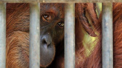 orangutan in captivity sumatra