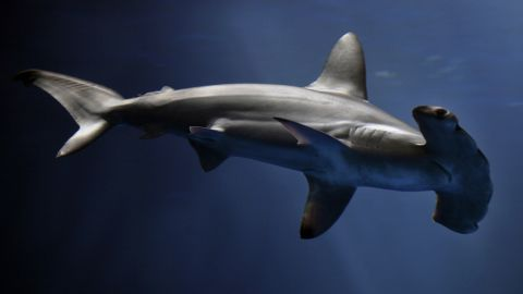 The new species looks similar to the pictured scalloped hammerhead shark.