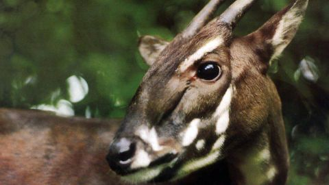 """A Saola is caught on camera for the first time in 15 years on September 7 in a forest in Vietnam. The species was discovered in 1992, and at most a few hundred -- and as few as a couple dozen -- of the animals are thought to exist. Because of its rarity and elusiveness, the saola is dubbed the """"Asian unicorn."""" They are recognized by two parallel horns with sharp ends, which can reach 20 inches in length and are found on both males and females."""