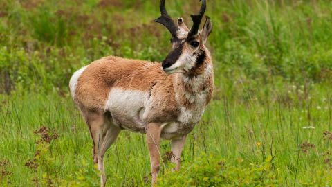 The pronghorn antelope is the fastest hoofed animal in North America and is capable of reaching speeds up to 60 mph. Most pronghorn populations remain stable, but have experienced a historic decline. Pronghorn follow the same migration corridors year after year. Today, the thoroughfares that link the summer breeding grounds and winter grazing areas are being fragmented by roads, cities, fences and energy development. These fragmentations threaten the migratory routes and survival of pronghorn.