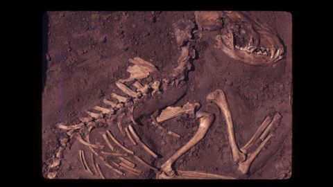 This fossil specimen is from a dog burial site in Greene County, Illinois, and is estimated to be 8,500 years old.