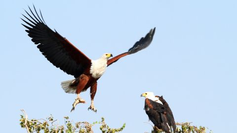 The Chobe National Park in Botswana is part of KAZA and has more than 650 species of bird, including the African Fish Eagle.