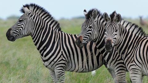 Zebra in Botswana's Chobe District number over 8,000.