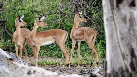 The Kavango Zambezi Transfrontier Conservation Area (KAZA) is considered the world's largest wildlife preservation. It spans five African nations including Angola, Zambia, Zimbabwe, Namibia and Botswana.