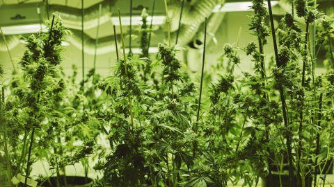 Marijuana plants sit under grow lights at the 3D Cannabis Center in Denver.