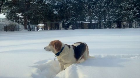 """New Jersey resident <a href=""""http://ireport.cnn.com/docs/DOC-1072206"""">Donna Dempsey </a>couldn't stop her beagle, Batman, from dashing into the white fluffy stuff on Friday morning. """"He was out there checking out all the smells and keeping an eye on his yard. He loves being outside and forging paths,"""" she said."""