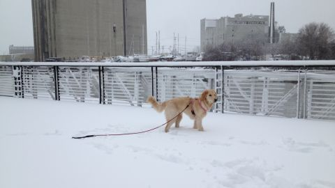 """<a href=""""https://twitter.com/CorleyRealEst8/status/419528955230560256"""" target=""""_blank"""" target=""""_blank"""">Chris Corley </a>says his sugar doodle Lily can't get enough of this cold weather. Here she is walking around in downtown Milwaukee on Friday after some fresh powder fell in the area. """"She loves the snow. I am Canadian and thought I liked snow. We are a perfect match,"""" he said."""