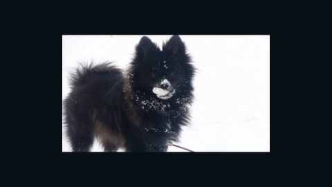 """<a href=""""https://twitter.com/Bremanie/status/419532515074789376"""" target=""""_blank"""" target=""""_blank"""">Stephanie Bremenour's </a>pomeranian, Dundie, is really specific when it comes to what kind of snow he will play in. """"He only likes to walk in the fresh snow on his walks. The deeper the snow, the better! As you can see from the picture, he also loves to eat snow,"""" the Michigan resident said."""