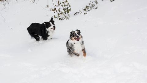 """<a href=""""http://ireport.cnn.com/docs/DOC-1072500"""">Emily Brown</a> has two incredibly active Australian shepherds. The two brothers were partaking in """"snow madness"""" as she likes to call it. """"They will jump up and down, bury themselves in the snow, and chase each other through the yard,"""" the Indianapolis resident said."""