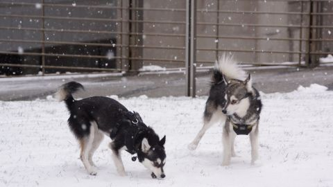"""The unbelievably cold weather in New York City didn't stop <a href=""""http://ireport.cnn.com/docs/DOC-1072605"""">Dan Gareau's </a>two mini huskies from running wild in Central Park. He says Voxel and Pixel were made for the snow. """"They play, prance, roll around, bite snowballs in the air,"""" he said."""