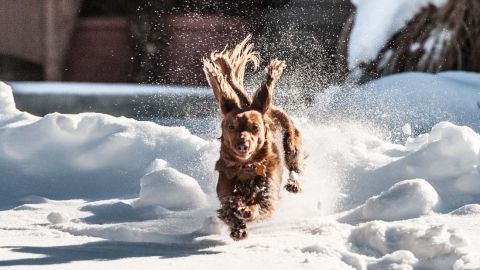 """A massive snowstorm that affected nearly a third of the nation left many people not wanting to leave their homes. But countless dogs, like <a href=""""http://ireport.cnn.com/docs/DOC-1072983"""">Todd Joyce's</a> pup Ginger, couldn't resist playing in the snow. Here's Ginger on a brief excursion in their snowy neighborhood of Lebanon, Ohio."""