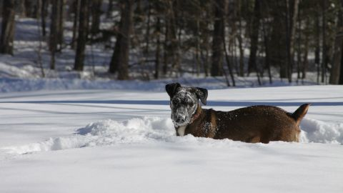 """<a href=""""http://ireport.cnn.com/docs/DOC-1072604"""">Beth Kelly's</a> Jack Russell and black lab mix Harper isn't fazed by the cold weather in Strafford, New Hampshire. She photographed Harper after she buried her face into the fresh snow. """"She loves snow and likes to bury her head in it, searching for who knows what,"""" she said."""