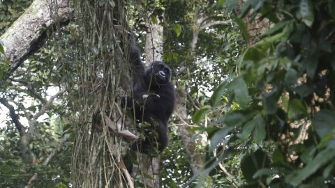 """One of the best performing sub-sectors within the wildlife tourism industry is gorilla treks, such as in <a href=""""http://www.ugandawildlife.org/explore-our-parks/parks-by-name-a-z/bwindi-impenetrable-national-park"""" target=""""_blank"""" target=""""_blank"""">Bwindi Forest National Park</a>, Uganda. Permits to visit a gorilla family cost between $500-700, meaning the forest, home to roughly half the world's wild mountain gorillas, generates approximately $15 million annually. <br /><br /><a href=""""http://edition.cnn.com/videos/intl_tv-shows/2015/07/27/spc-africa-view-wildlife-tourism.cnn""""><strong>Watch: </strong><strong>Wildlife tourism is booming in Africa</strong></a>"""