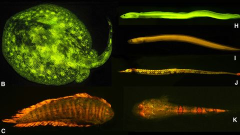 Researchers discovered a rich diversity of fluorescent patterns and colors in marine fishes, as exemplified here: B) ray (Urobatis jamaicensis), C) sole (Soleichthys heterorhinos), H) false moray eel (Kaupichthys brachychirus), I) Chlopsidae (Kaupichthys nuchalis), J) pipefish (Corythoichthys haematopterus), K) sand stargazer (Gillellus uranidea).<br />