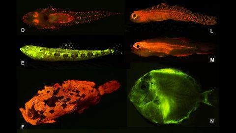 Pictured here are: D) flathead (Cociella hutchinsi), E) lizardfish (Saurida gracilis), F) frogfish (Antennarius maculatus), L) goby (Eviota sp.), M) Gobiidae (Eviota atriventris), N) surgeonfish (Acanthurus coeruleus, larval)<br />