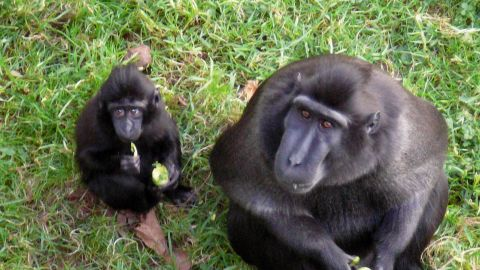 Macaque monkeys eating sprouts.