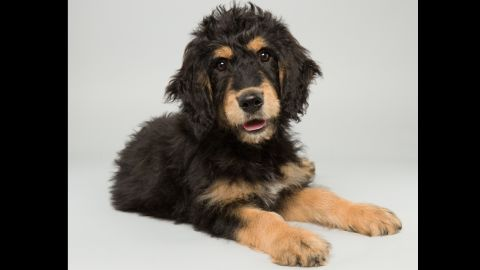 <strong>Name:</strong> Bach.  <strong>Age:</strong> 14 weeks.  <strong>Breed:</strong> Bernedoodle.