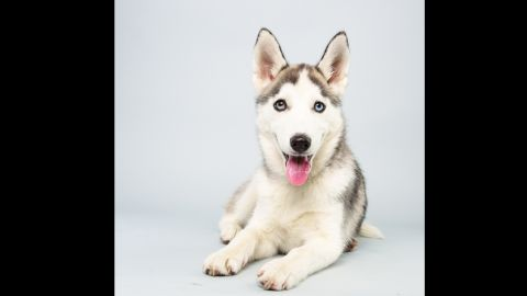 <strong>Name:</strong> Suri.  <strong>Age:</strong> 14 weeks.  <strong>Breed:</strong> Siberian husky.