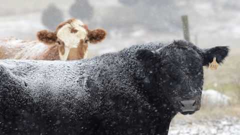 Snow falls on cattle at Todd Galliher's farm in Harmony, North Carolina, on January 28.