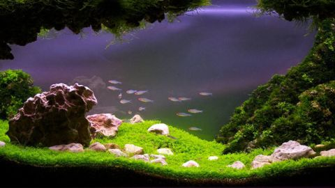 """Aquascaping requires careful timing. Different plants come into bloom at different times, so designers must plan their tanks well in advance of any competition. Entitled """"Stepping out into the valley"""", this tank was photographed six months after its Latvian acquascaper started it."""
