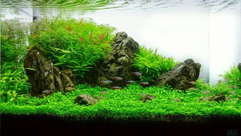 This three-month old tank recreates greenery of the Carpathian Valley. In addition to a variety of plants, there are four species of fish, including the glowlight tetra and amano shrimp.