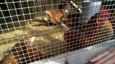 A pre-kindergarten student used Glass to record interactions with chickens while on a field trip to a farm.