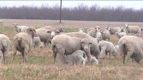 dnt ca drought impact sheep hay_00000105.jpg