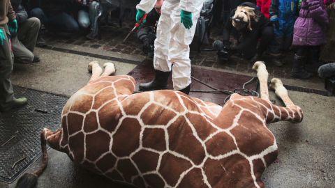 cnni vo denmark giraffe killed _00000410.jpg