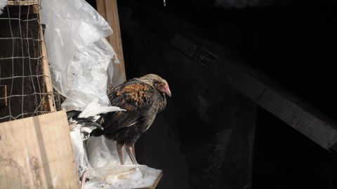 """""""Operation Angry Birds"""" the largest cockfighting bust in New York state history, resulted in more than 3,000 seized birds, 70 people taken into custody and nine felony arrests."""