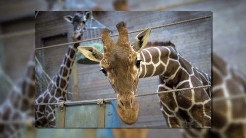 pkg pleitgen giraffe cull_00005505.jpg