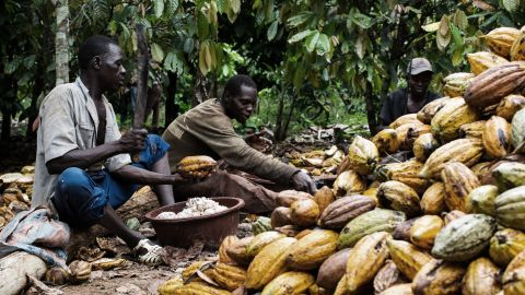 Workers harvest the pods and split them open with machetes, removing the cocoa beans, which are coated in a white fruity pulp.