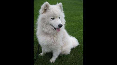 """Brittany Smith, 23, is allergic to animal fur, but that doesn't stop her from being with her beloved Samoyed breed dog Lucky, whom she found at a rescue. """"I have never felt true, honest love except with him. When I have a long day at work or school and come home, he is always so excited to see me. When I'm sad, he will cuddle with me,"""" she said."""
