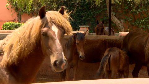 spc winning post peruvian paso horse_00004503.jpg