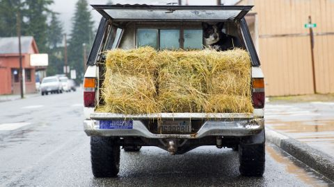 A dog sits in the back of a pickup truck in downtown Darrington on Saturday. The hay was donated to feed horses and farm animals displaced by the landslide.