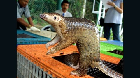 The pangolin, prized in China and Vietnam for its meat, could soon become extinct.