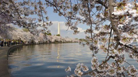 Caption: (140410) -- WASHINGTON D.C., April 10, 2014 (Xinhua) -- The Washington Monument is seen through cherry blossoms on the edge of the Tidal Basin in Washington D.C., capital of the United States, April 9, 2014. (Xinhua/Yin Bogu) XINHUA /LANDOV   Photographers/Source: YIN BOGU/Xinhua /Landov