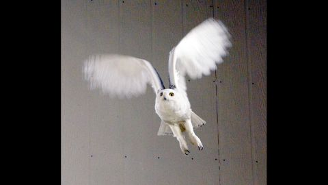Tufts Wildlife Clinic, part of the Cummings School of Veterinary Medicine at Tufts University, has treated six snowy owls this year. The clinic has a 100-foot flight pen that is used for conditioning, a key part in the owl's recovery.