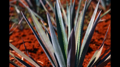 """A more exotic sweetener, <a href=""""http://ndb.nal.usda.gov/ndb/foods/show/6345"""" target=""""_blank"""" target=""""_blank"""">agave nectar</a> is created from the agave plant that is native to southern and western United States and parts of South America. It contains fewer carbs than most other sweeteners and contains vitamin C. Calories per tablespoon: 63."""