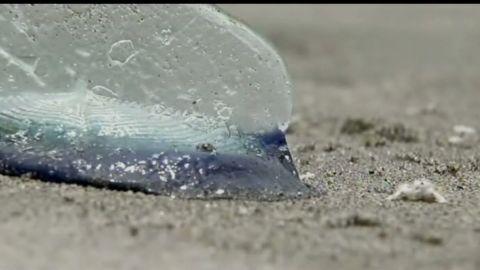 pkg velella jellyfish relative california beach_00001302.jpg