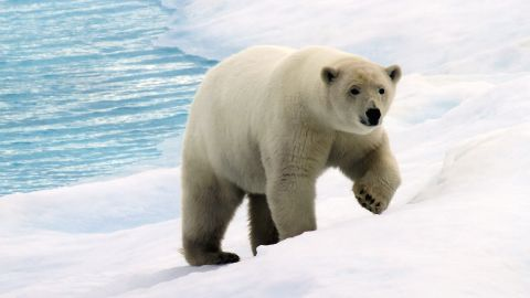 It is estimated there is about 26,000 polar bears worldwide, but scientists have predicted it could fall by one third.