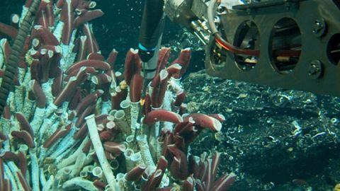 Alvin has two hydraulically powered robotic arms used by the pilot for deploying scientific equipment and collecting samples. Here it can be seen probing tube worms on the bottom of the East Pacific Rise. Tube worm communities form around hydrothermal vents -- an area that previously was believed to be inhospitable to any lifeforms due to toxic chemicals and high pressure -- until scientists spotted the marine organisms during dives off the Galapagos Islands in the '70s.