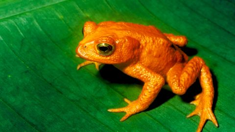 Polar bears may be the poster child for climate change's effect on animals. But scientists say climate change is wreaking havoc on many other species -- including birds and reptiles -- that are sensitive to fluctuations in temperatures. One, this golden toad of Costa Rica and other Central American countries, has already gone extinct.