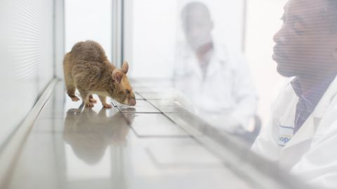Apopo also trains rats to sniff out TB. Currently, the NGO's rodents are screening TB samples in Dar es Salaam, Tanzania and Maputo, Mozambique.