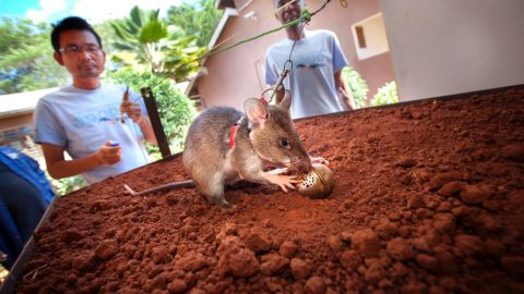 Mine-detection rats are then trained in a sandbox, where they are charged with sniffing out TNT-stuffed tea balls.