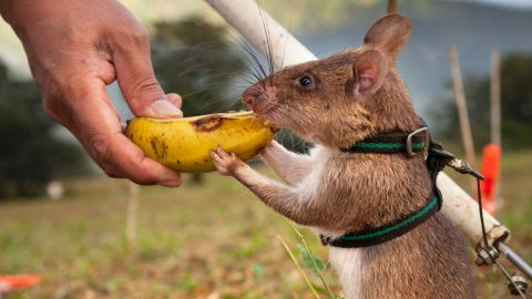 The rats are then conditioned with clicker training, so that they associate the sound of a click with a reward (usually peanuts or bananas). They are then introduced to a target scent (TNT or positive TB samples).
