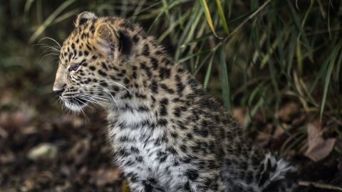 Amur Leopard, a rare species of leopard living on the borders of Russia and China, was the winner of the 2013 WWF award dedicated to the positive evolution of an endangered species, but remains critically endangered.