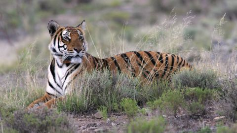 """The South China tiger is considered """"functionally extinct,"""" as it has not been sighted in the wild for more than 25 years."""