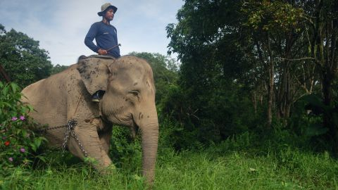 Sumatran elephants come into conflict with humans due to the rapid expansion of palm oil plantations which destroy their habitat.